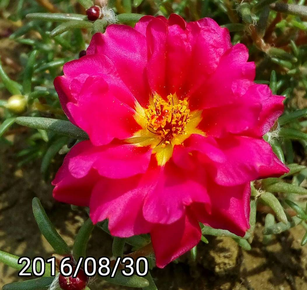 紫紅黃色複瓣松葉牡丹 yellow Magenta multi-petalled Portulaca pilosa, kiss-me-quick, hairy pigweed